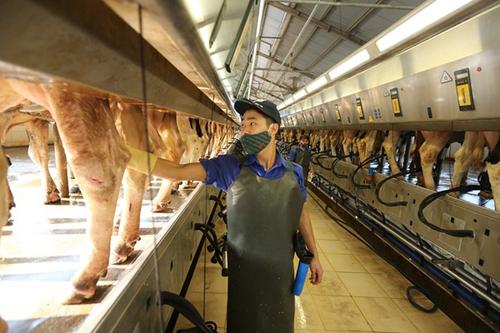 Con đường trở thành 'chuyên gia bò sữa' của Mộc Châu Milk
