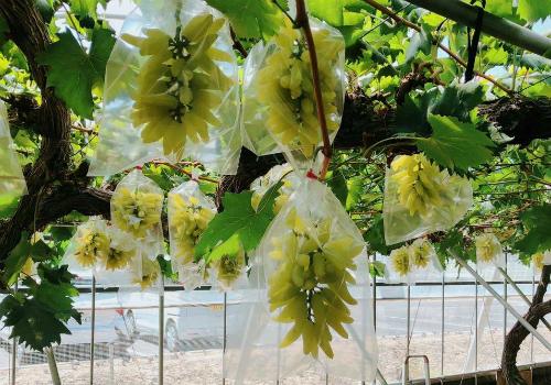 Vườn nho móng tay tại tỉnh Okayama (Nhật Bản). Ảnh: Mia