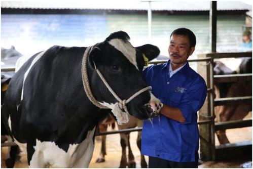 Những 'đại gia' chăn bò ở nông trường Mộc Châu