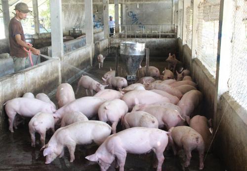 Mô hình chăn nuôi heo nhỏ lẻ thường không mang lại năng suất cao.