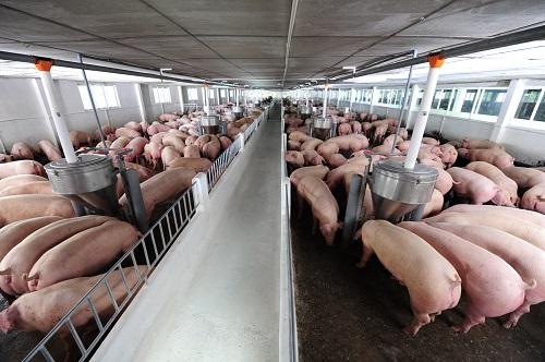 Gây dựng nguồn thịt sạch và tốt bắt đầu từ giống vật nuôi