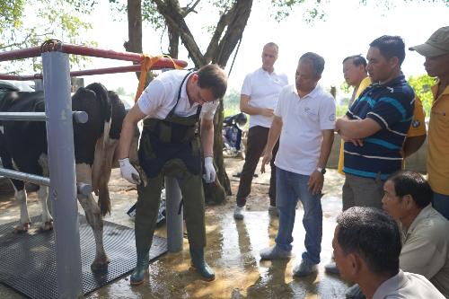 Chuyên gia Hà Lan dạy nông dân Việt Nam nuôi bò sữa