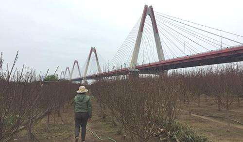 Các nhà vườn Nhật Tân đang bận rộn với việc chăm sóc hoa cũng như tiếp khách đến tận vườn hỏi mua. Ảnh: NT