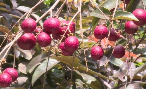 Nhãn tím vườn nhà ông Huy năm nay mất mùa.