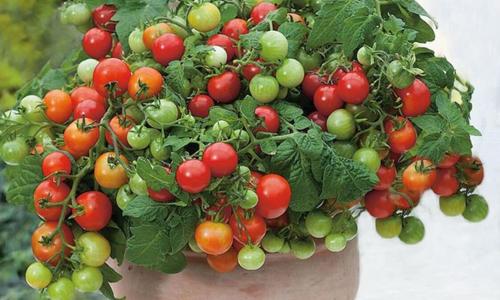Những chậu rau quả độc lạ đắt khách cho Tết Nguyên đán - 3