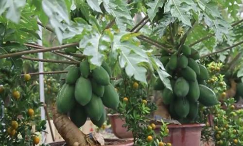 Những chậu rau quả độc lạ đắt khách cho Tết Nguyên đán - 1