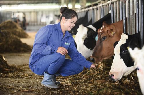 Lịch sử 60 năm và bước chuyển mình của chuyên gia bò sữa Mộc Châu Milk