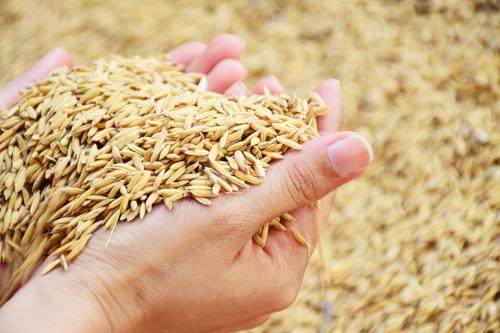 Lúa gạo là lĩnh vực được ưu tiên hỗ trợ nguồn vốn vay từ các ngân hàng.