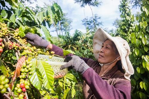 Nông dân Trần Thị Quế, xã Tân Xuân, huyện Di Linh, tỉnh Lâm Đồng bên vườn cà phê cho năng suất cao nhờ dự án Better Life Farming.