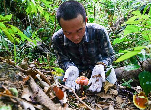 Mỗi khi tới mùa người dân các tỉnh miền núi thường đi săn nấm lim xanh.