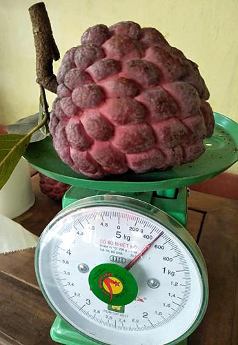 Na tím đỏ có trọng lượng trung bình 300 -400gram. Ảnh: Ngọc Nguyễn.