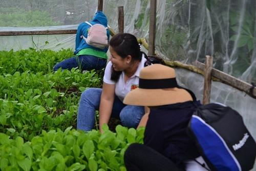 Hoạt động thu hoạch rau trong nhà lưới.