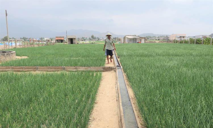 Vườn hành tím ở xã Ninh Hải.