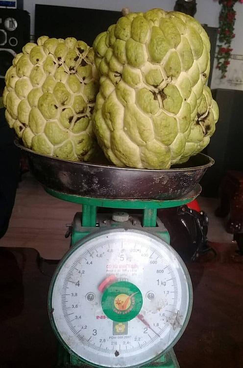 Những trái na đầu tiên ở vườn nhà ông Thành. Ảnh: Võ Thành.