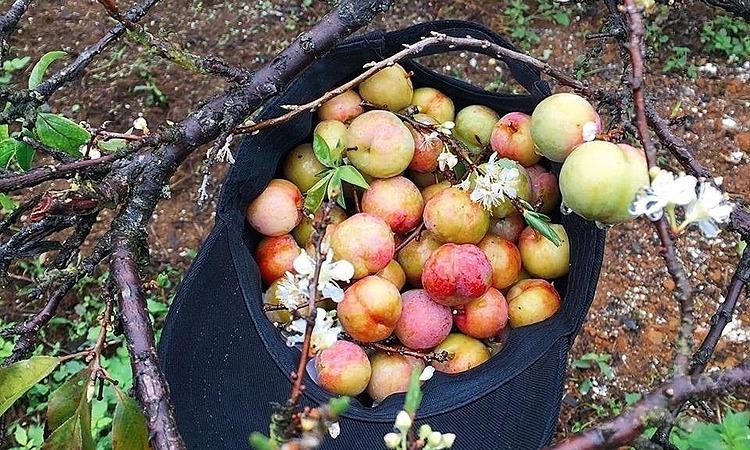 Mận Mộc Châu trái mùa 'sốt' giá