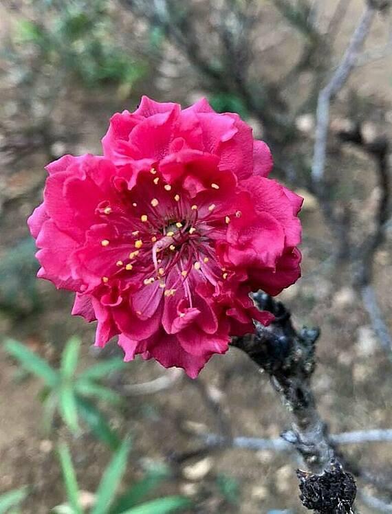Những bông hoa đầu tiên bung nở tại vườn nhà ông Phương. Ảnh: NVCC.