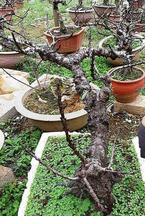 Cây đào thất thốn có tuổi đời 17 năm tại vườn nhà ông Chuyên. Ảnh: NVCC.