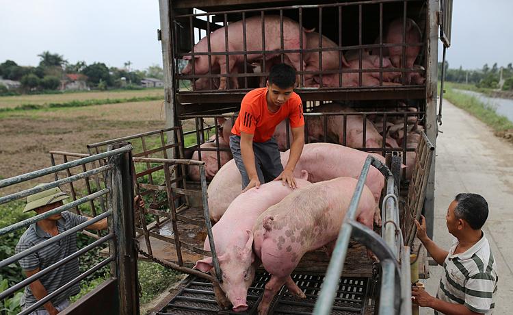 Mua bán heo hơi tại chợ gia súc Hà Nam. Ảnh: Tất Định.