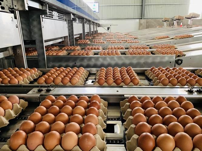 Dây chuyền sản xuất trứng gà sạch hiện đại khép kín của Tafa Việt
