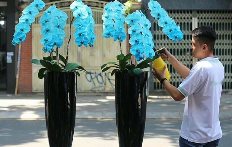 2 chậu lan đồ điệp nhuộm màu xanh da trời giá 9 triệu đồng được một công ty xe hơi mua tặng sếp. Ảnh: Flowerbox.