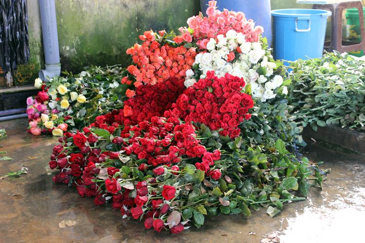 Nhà vườn Đà Lạt thu hoạch hoa hồng cho dịp 8/3 năm nay. Ảnh: Quốc Dũng.