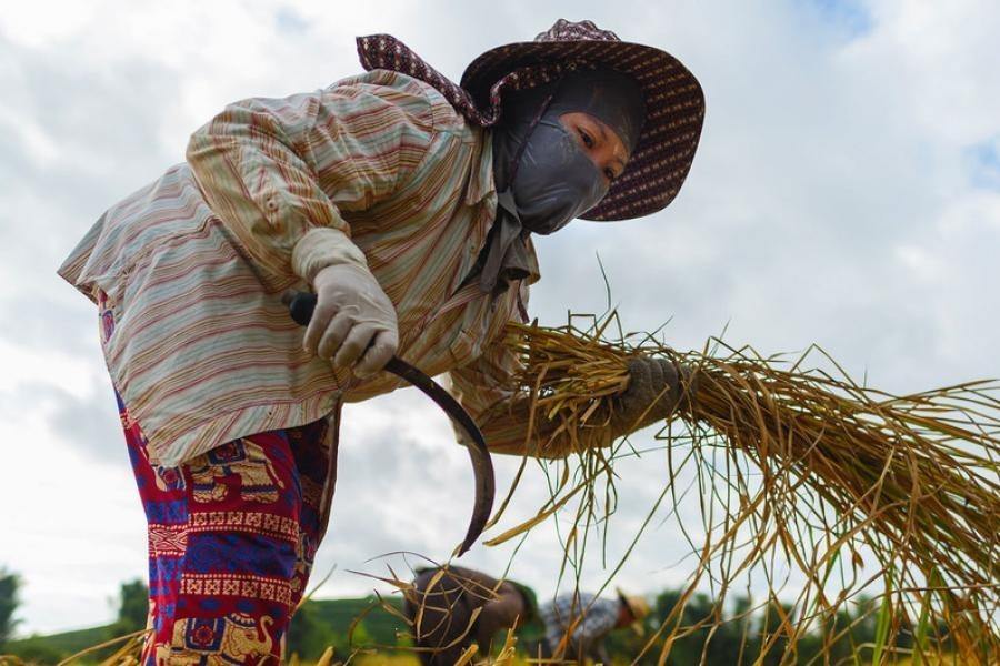 Nữ công nhân người Việt Nam đang làm việc trên cánh đồng lúa tại tỉnh Chiang Rai, thuộc miền Bắc Thái Lan. Ảnh: UN Women/Pornvit Visitoran.